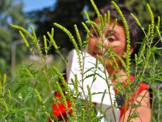 Ambrosia Pollenallergie